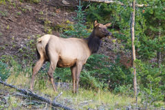 Cow Elk Royalty Free Stock Photo
