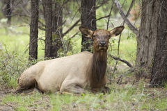 Cow Elk Bedded Stock Image