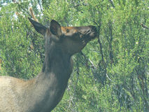 Cow Elk browsing. On the South Rim of the Grand Canyon in July Stock Photo