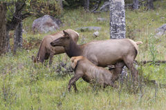 Cow Elk and Calf Stock Photo