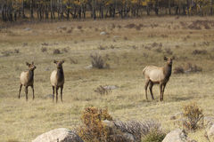 Cow Elk and Calves. A cow elk standing head on in a mountain meadow with her two calves Stock Photography