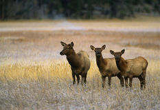 Cow Elk and Calves in Meadow Stock Photo