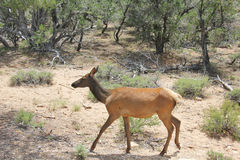 Cow Elk at the Canyon Royalty Free Stock Photo