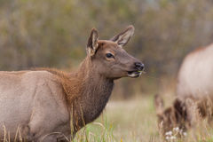 Cow Elk Close Up Stock Image