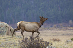 Cow Elk with Collar Royalty Free Stock Image