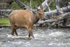 Cow elk crossing river Royalty Free Stock Photo