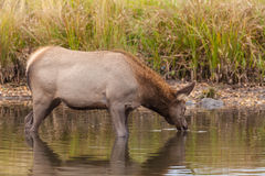 Cow Elk Drinking in Lake Royalty Free Stock Image