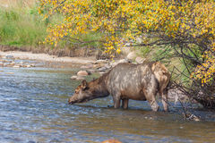 Cow Elk Drinking in River Royalty Free Stock Photo