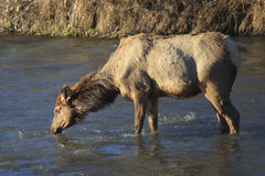 Cow Elk Drinking in Stream. Cow Elk in late winter drinking out of stream in Montana Stock Images
