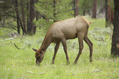 Cow Elk Feeding Royalty Free Stock Images