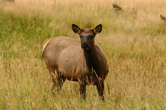 Cow elk in golden meadow of Rocky Mountains Stock Images