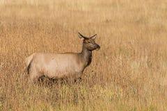 Cow Elk in Grass Stock Photos