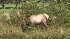 Cow Elk Grazing stock video