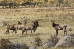Cow Elk Herd Stock Photo