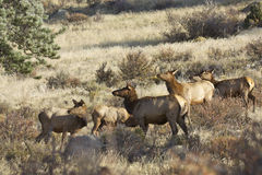 Cow Elk Herd Royalty Free Stock Photo