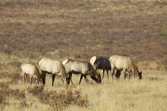 Cow Elk Herd Feeding Stock Photos