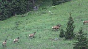 Cow Elk Herd Running stock video footage