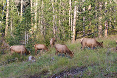 Cow Elk Herd Stock Photos
