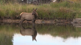 Cow Elk in Lake stock video footage