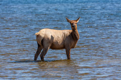 Cow Elk in Lake Royalty Free Stock Photo