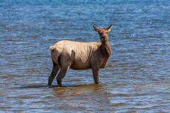 Cow Elk in Lake Royalty Free Stock Photo