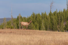 Cow Elk in Meadow Stock Image