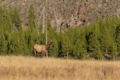 Cow Elk Royalty Free Stock Image