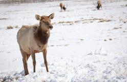 Cow Elk. A cow elk on the National Elk Refuge in Jackson, Wyoming Stock Photos