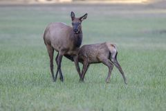 Cow elk and calf, Cervus canadensis, Great Smoky Mountains, Cherokee, North Carolina royalty free stock image