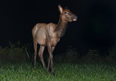 Cow Elk in Pennsylvania at night. A cow Elk in Pennsylvania royalty free stock photography