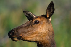 Cow Elk Portrait Stock Images