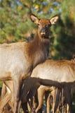 Cow Elk Portrait Royalty Free Stock Photos