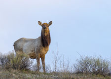 Cow elk on ridge with blue sky background Royalty Free Stock Photo