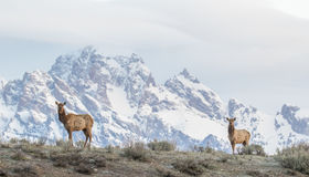 Cow elk on ridge with Tetons in the background Royalty Free Stock Photos