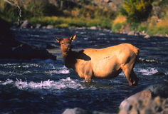 Cow Elk in River Royalty Free Stock Photography