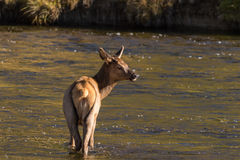 Cow Elk in River Royalty Free Stock Photos
