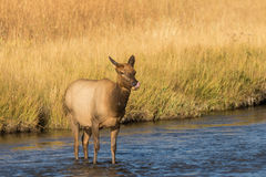 Cow Elk in a River Stock Images