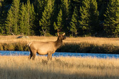Cow Elk by River Royalty Free Stock Photos