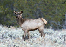 Cow elk during rut in deep sagebrush with green tree background Royalty Free Stock Photography