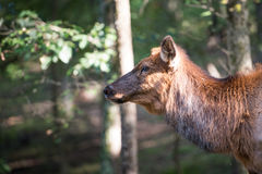 Cow elk Royalty Free Stock Image