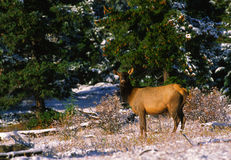 Cow Elk in Snow Royalty Free Stock Photography