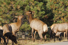 Cow Elk Sparring. A couple of cow elk playfully sparring Royalty Free Stock Photo