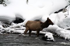 Cow elk standing in cold snowy river Royalty Free Stock Image