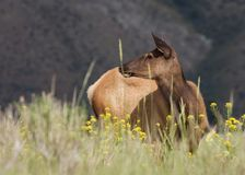 A cow elk standing in a field of grass and wildflowers stock images