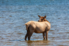 Cow Elk Standing in Lake Royalty Free Stock Photography