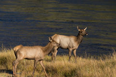 Cow Elk Royalty Free Stock Images