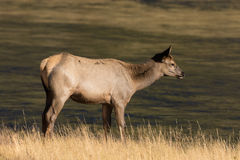 Cow Elk by Stream Royalty Free Stock Photos