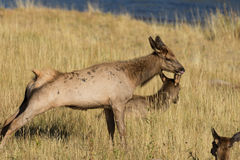 Cow Elk Stretching Royalty Free Stock Photography