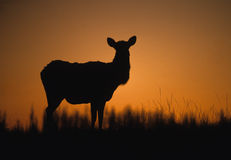 Cow Elk in Sunset Royalty Free Stock Photos