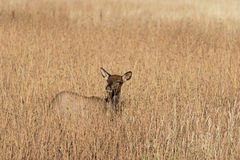 Cow Elk in Tall Grass Stock Photo